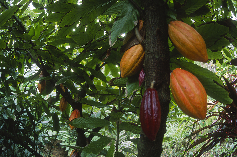 Theobroma cacao is a small (13 - 26 ft) tall evergreen tree native to the deep tropical regions of Central and South America. Its seeds, cocoa beans, are used to make cocoa mass, cocoa powder, and chocolate. Credit: Danita Delimont/Getty
