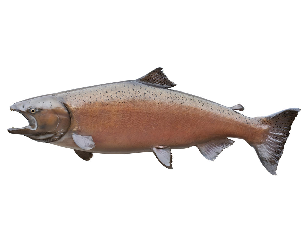 Get schooled how to buy the best salmon at the grocery for Salmon fish images