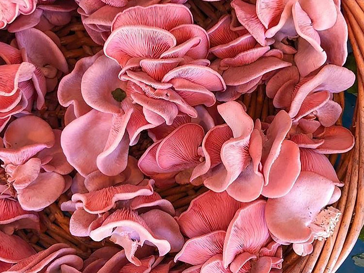 1804w Pink Oyster Mushrooms