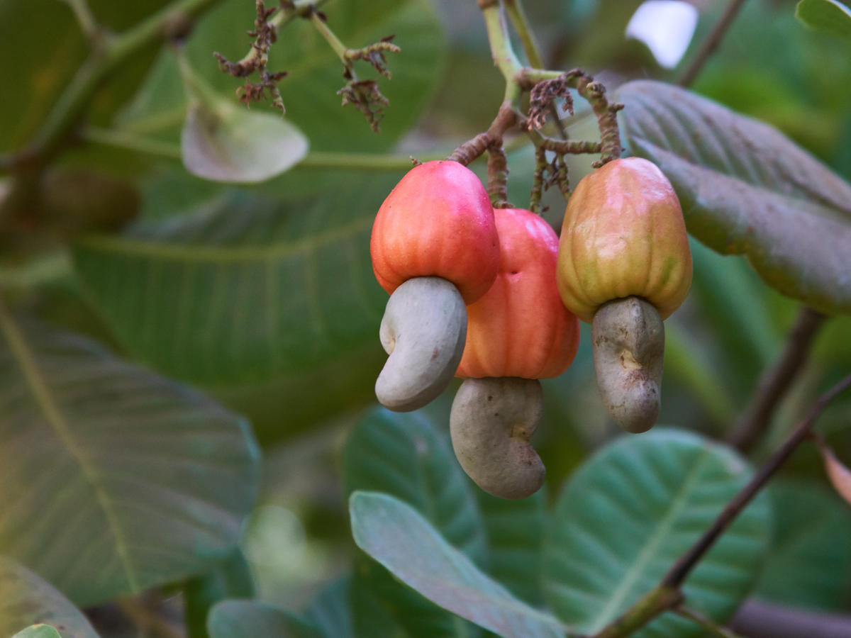 People Can't Believe That THIS Is How Cashews Grow