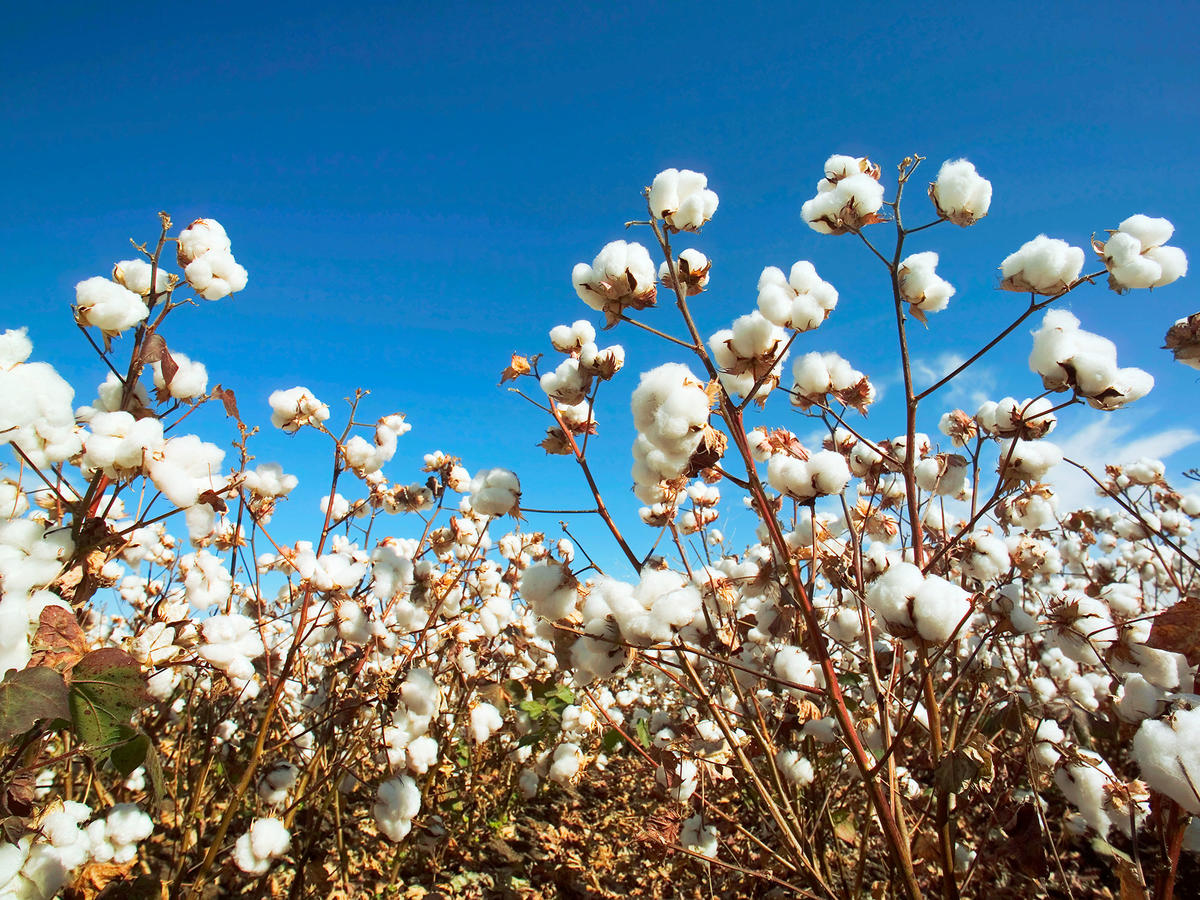 Edible Cotton Will Soon Become a Reality