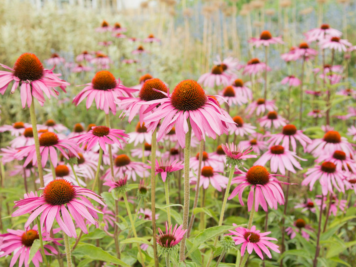 Does Echinacea Actually Work Against Colds? Here's What the Science Says