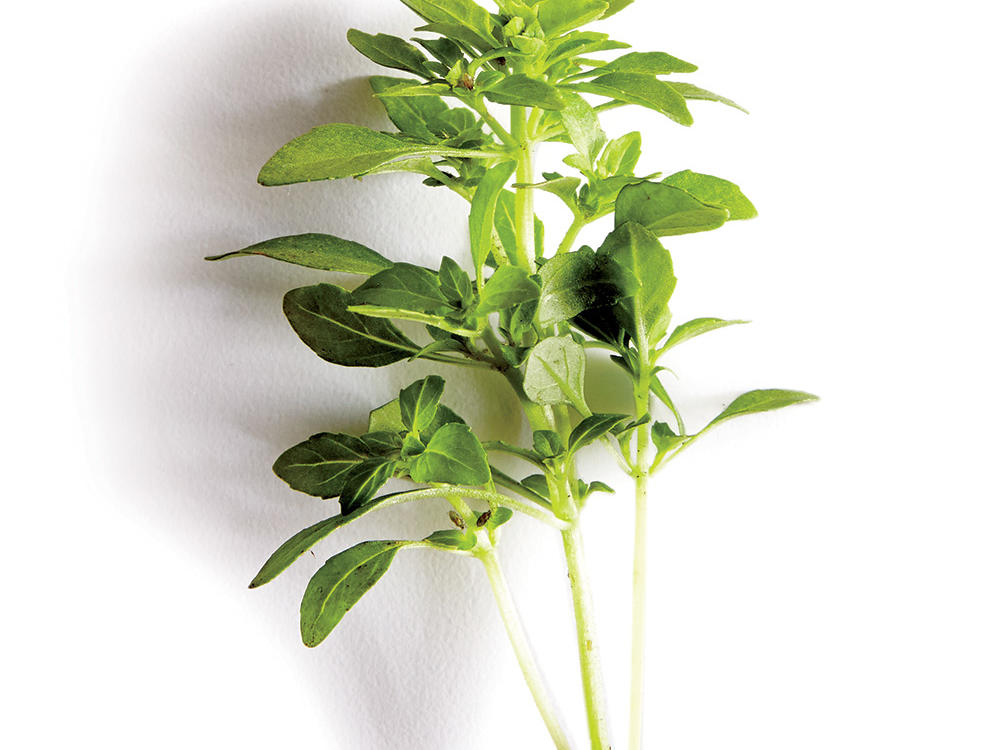1506p109-boxwood-bush-basil.jpg