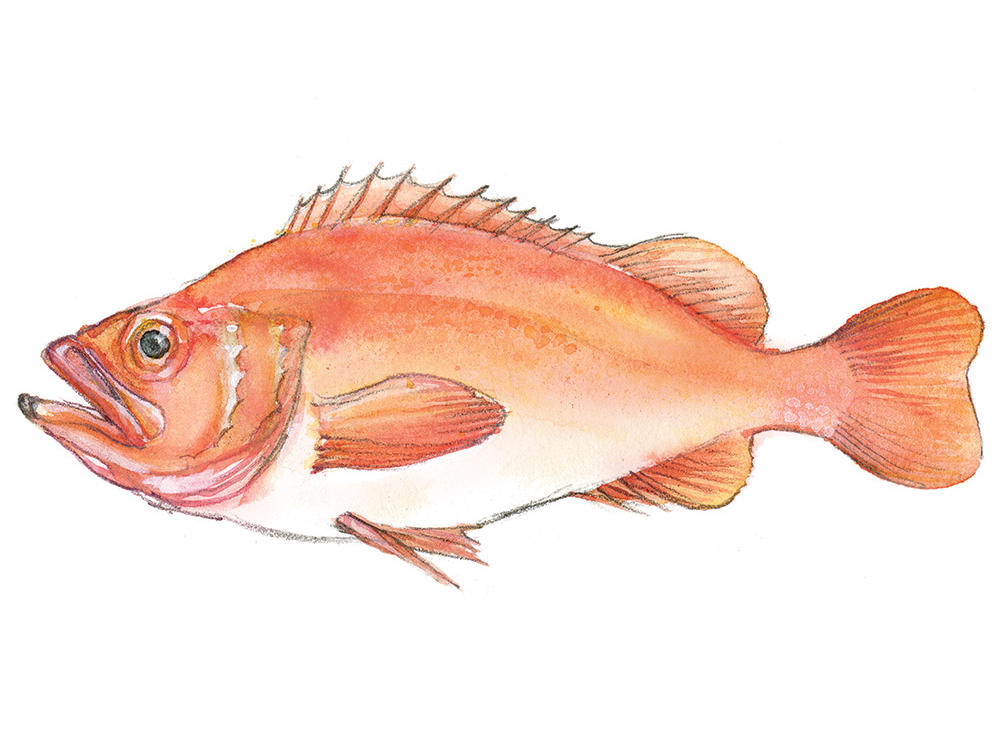 12. Acadian Redfish