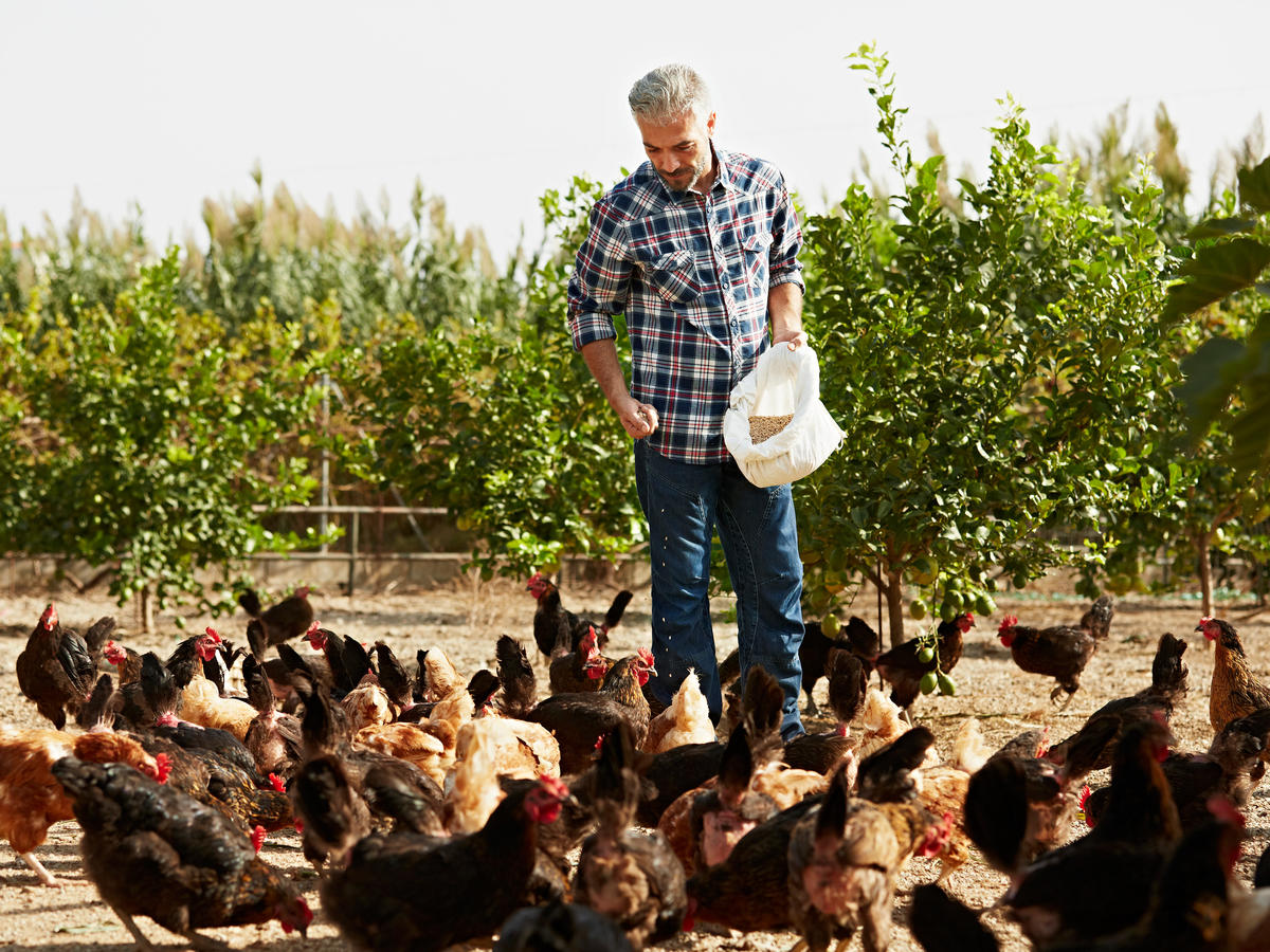 Organic Chicken Feeding