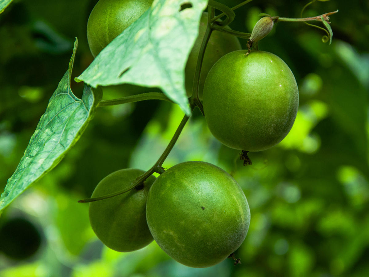 What is Monk Fruit? - Cooking Light
