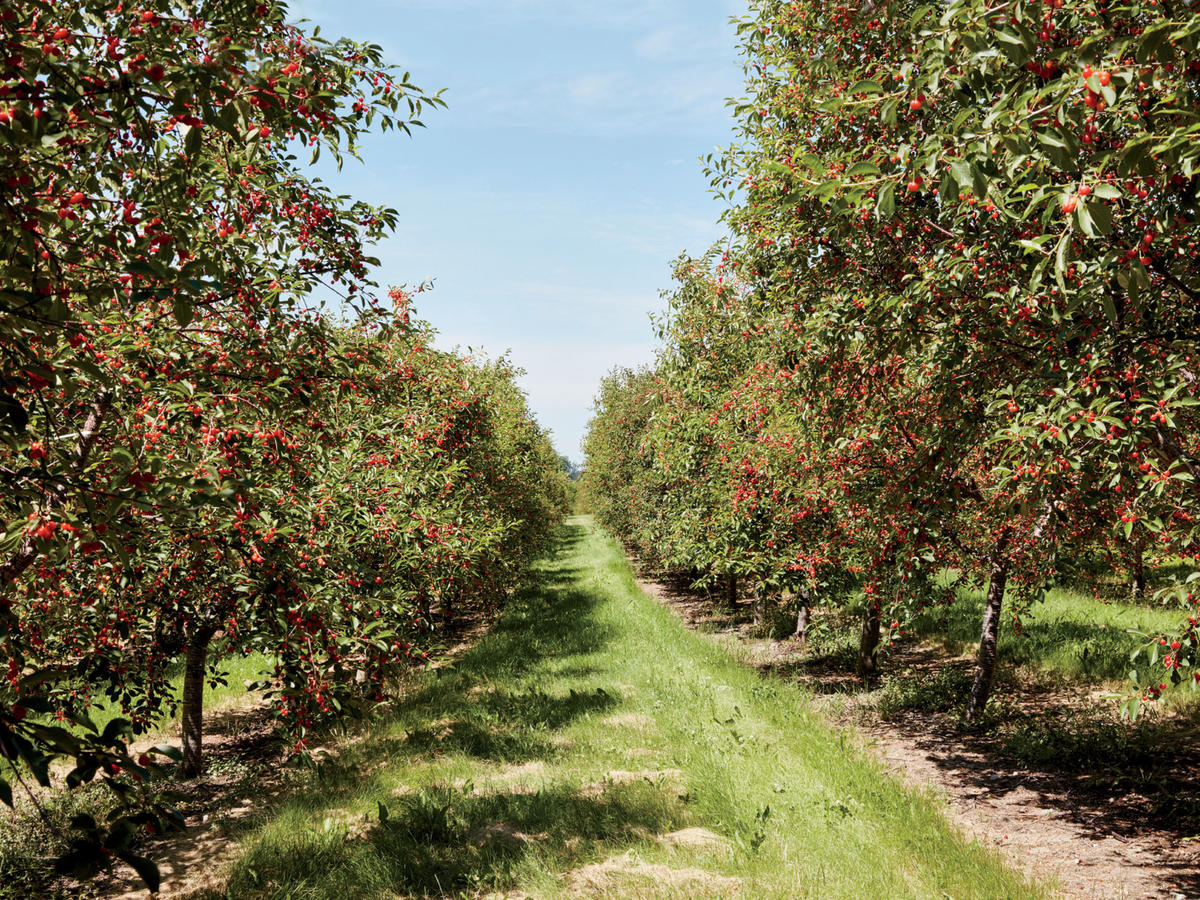 Cherry Trees on Bardenhagen Farm