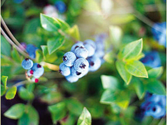 blueberries1.jpg
