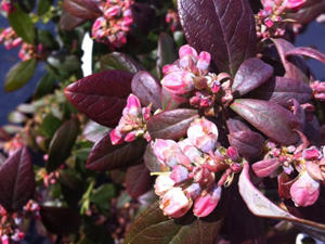 blueberry-blossoms-cl-mv_m1.jpg