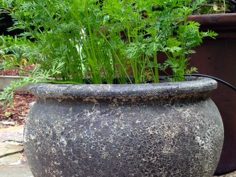 carrots-in-container.jpg