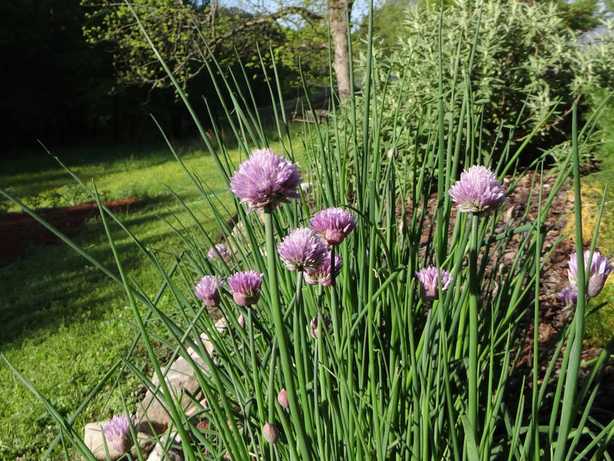 chives.jpeg
