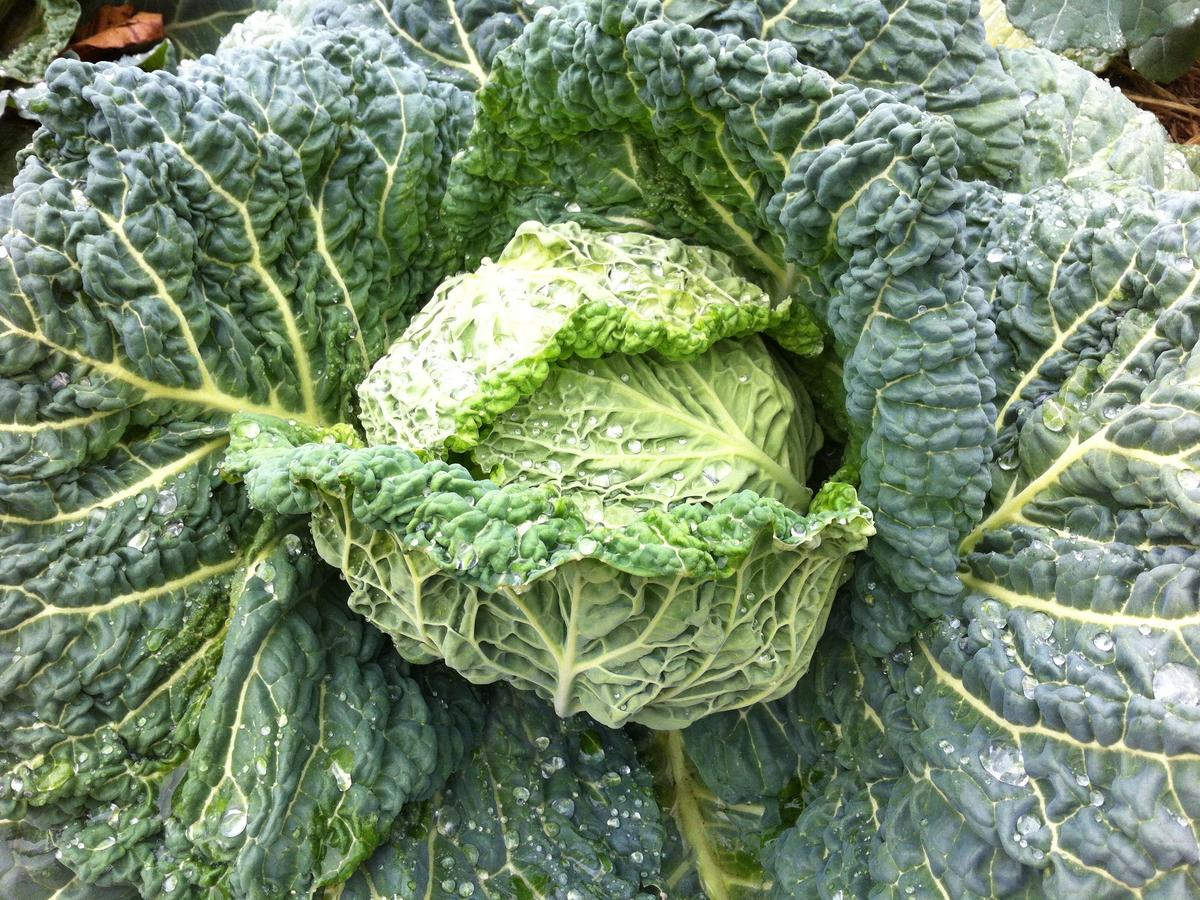 cl-perfection-drumhead-savoy-cabbage.jpg