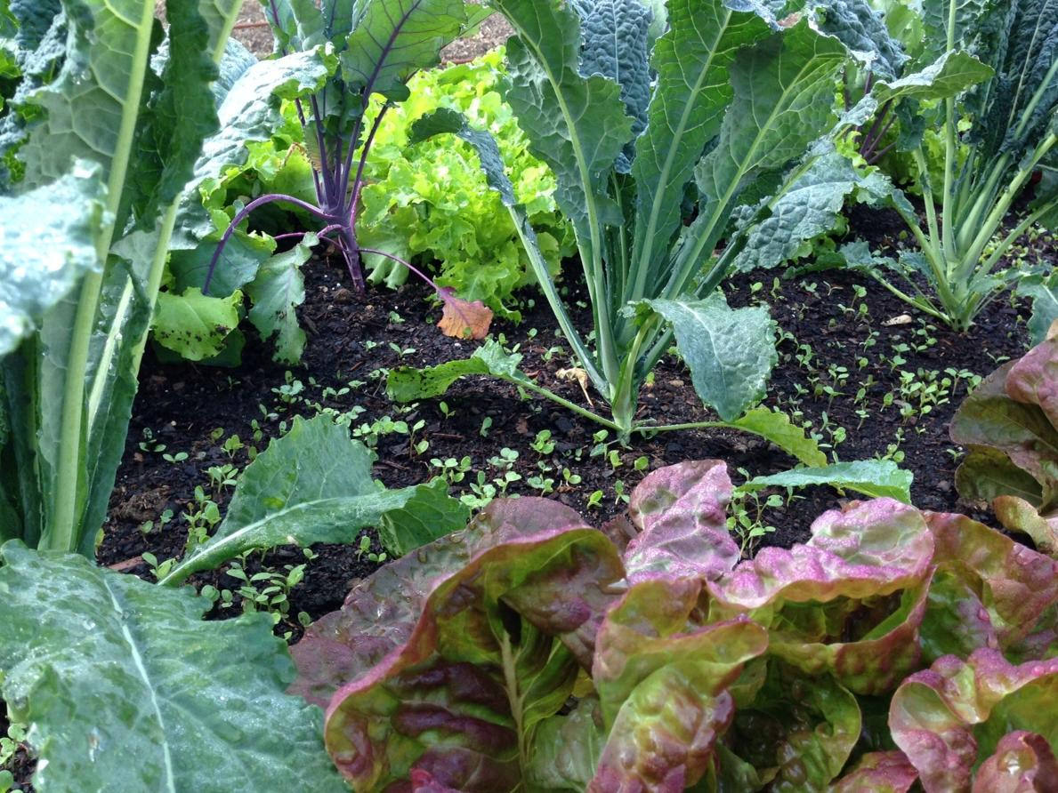 lettuce-as-groundcover.jpg