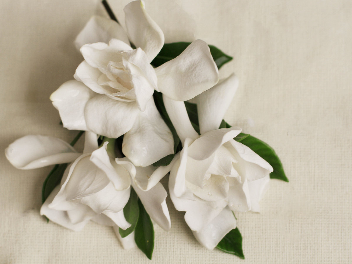 Edible flowers crystallized gardenia petals cooking light popular in southern regions the creamy white flowers have shiny stiff leaves that pop up in aromatic bunches eaten raw the flower petals are as mightylinksfo