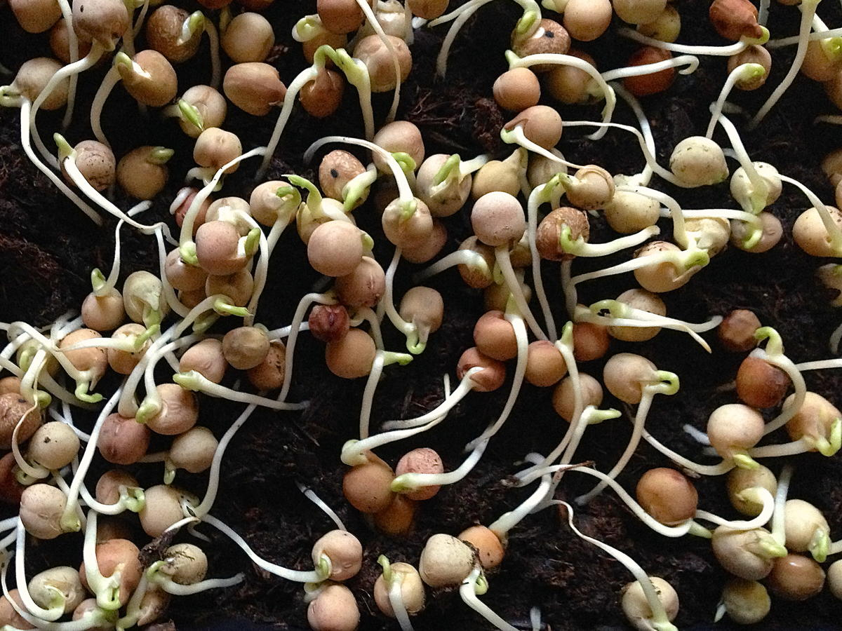 peashoots6_day4_sprouts.jpg