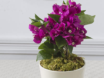 potted-bougainvillea.jpg