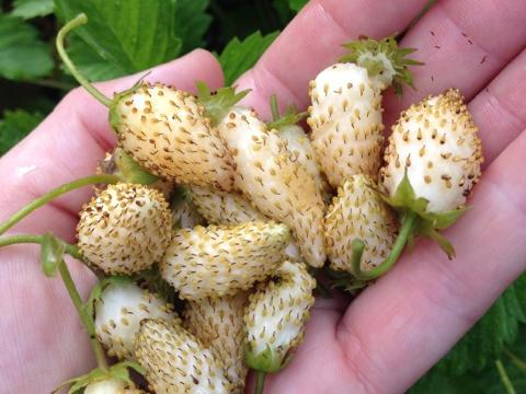 white-soul-strawberry-harvest.jpg