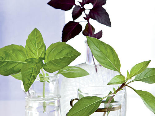 Three types of basil