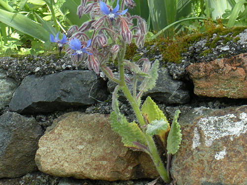 Wild borage is a weed that grows here. Not only are the tiny purple flowers edible and used for visual appeal in soups and salads, but the spiny leaves are deveined, chopped, and prepared similarly to Swiss chard.