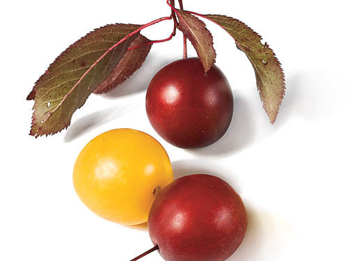 Myrobalan (Cherry Plums)