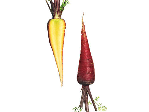 Striking colors inside and out set Dragon carrots apart. Serve them halved lengthwise and roasted. For an even more dramatic presentation, shave raw into thin strips and toss in a salad.