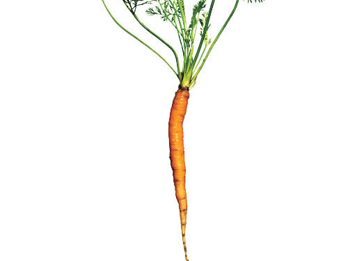 Finger-thin but considerably longer—averaging about 6 inches—these are great all-purpose carrots. Their uniform size ensures even cooking, whether roasted, steamed, or sautéed.