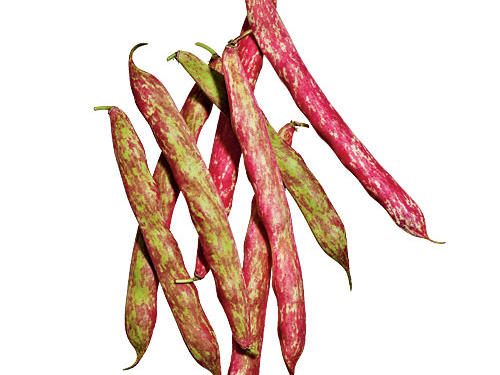 The beautiful shell on these tends to be thick and fibrous: They're best for shelling fresh or dried. Very similar to the popular cranberry beans.
