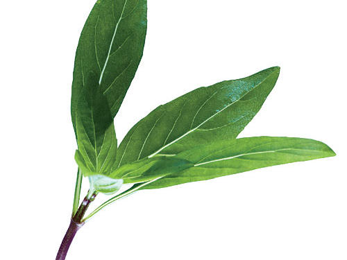 Extremely fragrant and more intensely flavored than sweet Italian basil, this Thai basil is great for Southeast Asian salads and stir-fries.