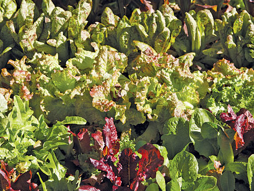 Guide to Lettuce, Endive, and Radicchio
