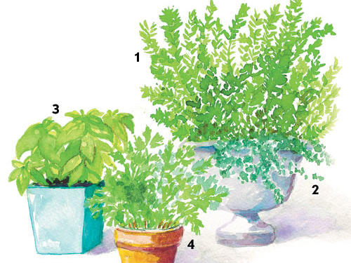 Potted herbs are ideal for those who'd like year-round seasoning at their door.Rosemary (1): A large urn is perfect for a large plant like rosemary. This woody shrub is cold-tender and better suited for gardeners in warmer states, although it will tolerate temperatures in the 20s without a problem. Choose a cold-hardy variety, such as Hill Hardy and Arp, for those areas where temperatures dip into the teens. Until the rosemary grows large, creeping thyme (2) can be planted on the sunny side (south or west) of the pot to trail over the edge.Basil (3): Plant basil in an 18- to 24-inch pot. This annual is only perennial in gardens that are frost-free. Plant any variety you'd like.Parsley (4): Plant parsley in a small pot. Substitute chives, creeping thyme, or mint.