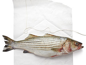 Fillet a fish: Striped Bass