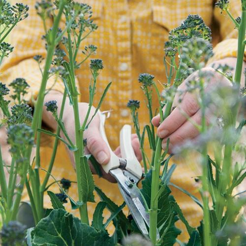 grow broccoli in the fall for a sweeter flavor